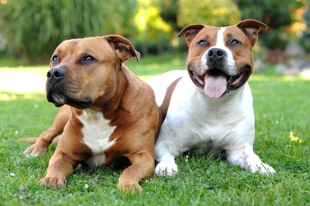 Der American Staffordshire Terrier