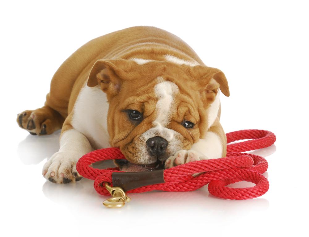 7 tolle Tipps, wenn dein Hund in die Leine beißt