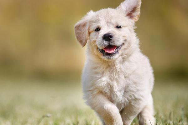 <strong>Welpen Online Kurs </strong> vom ersten Tag an <br> Auch für junge oder erwachsene Hunde